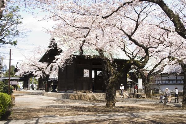 桜の代表ソメイヨシノは日本固有種