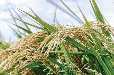 【お米は精米したてがうまい】玄米が体にいいので冬は白米、夏は玄米がいいんじゃない?