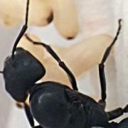 大きい蟻の種類〜やけにでかいクロオオアリとムネアカオオアリって何?