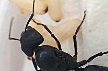 蟻の中で大きい種類のオオクロアリとムネアカオオアリ