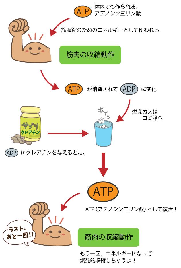 ATPからADPへの変化とクレアチン効果、その関わりについて